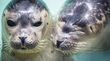 Zeehondencentra: 'Laat zeehondenpups met rust'