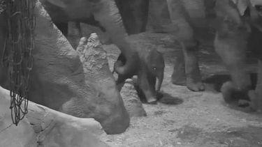 Baby olifant geboren in Diergaarde Blijdorp