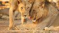 foto van een leeuwenpaar