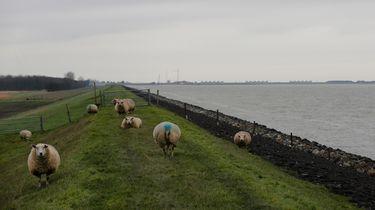 Schaap geslacht in Noord-Hollands weiland