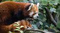 rode panda duitsland duisburg dierentuin