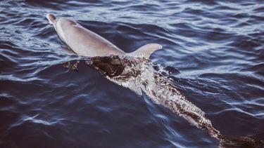 Dolfijn volgt schip naar Amsterdamse haven