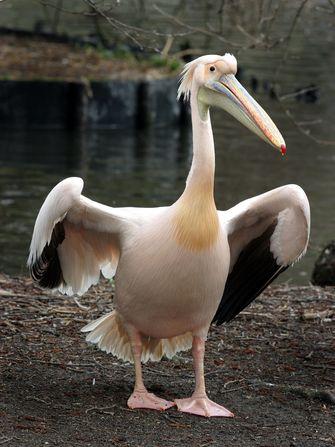 Een pelikaan in Artis. Foto: ANP