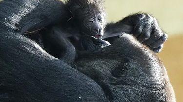 Op deze foto is een laaglandgorilla te zien, de moeder, die haar baby vasthoudt.
