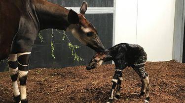 Op de foto de okapi en zijn moeder