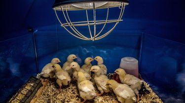 Fransen verbieden shredderen en vergassen van kuikens