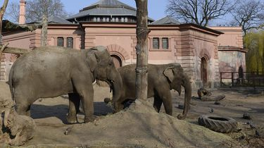 Olifanten in dierentuin van Warschau krijgen cannabis