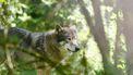 foto van een wolf
