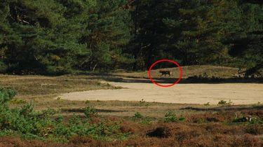 Gaan we de wolf vaker zien in Nederland?