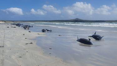 Dode grienden die aanspoelden bij de eilanden.