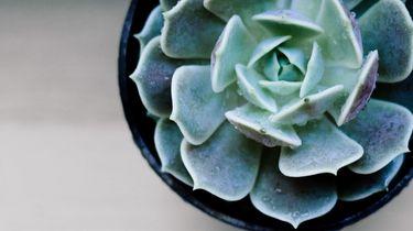 Vrouw beseft na 2 jaar water geven plots dat haar vetplant nep is