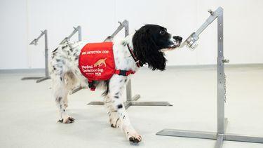 Honden getraind om COVID-19 op te sporen