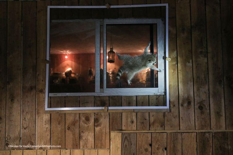 How do you get that damn window open - The Comedy Wildlife Photography Awards 2021 / Nicolas de Vaulx