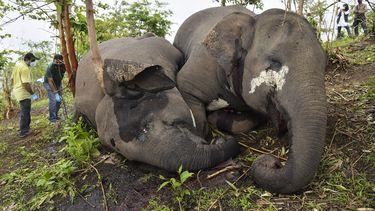 Dode olifanten in India, ze zijn vermoedelijk om het leven gekomen door een blikseminslag