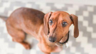 Onwijs blije hond verrekt staart door kwispelen
