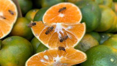 Insecten eten plaagdier