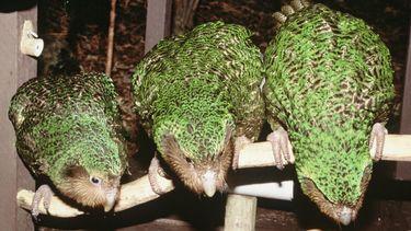 Op deze foto zie je een aantal kakapo's