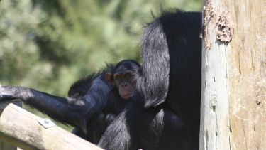 Een foto van chimpansees.