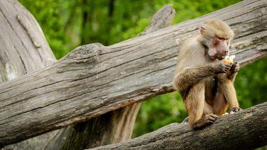 apen stelen coronabloed