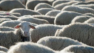 foto's van schapen