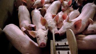 Halvering veestapel geen oplossing voor stikstofprobleem