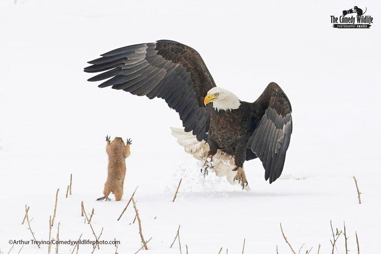 © Arthur Trevino/ 'Bald Eagle Gets a Suprise' / Comedy Wildlife Photography Awards 2021