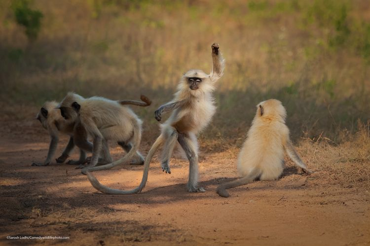 Dancing away to glory - The Comedy Wildlife Photography Awards 2021 / Sarosh Lodhi