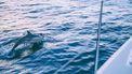 Dolfijn Zafar zwemt terug de open zee in