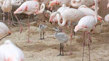 Kleine flamingo's in gaiazoo Limburg