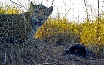 Man treitert jaguar in dierentuin en wordt aangevallen