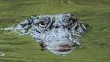 Op deze foto zie je een alligator