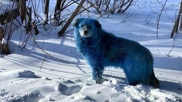 Blauwe honden in Rusland