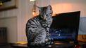 Hierom zit je kat graag op je toetsenbord