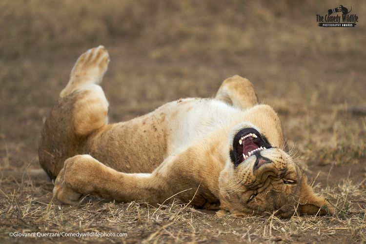 © Giovanni Querzani/ 'ROFL: Rolling on the floor laughing' / Comedy Wildlife Photography Awards 2021