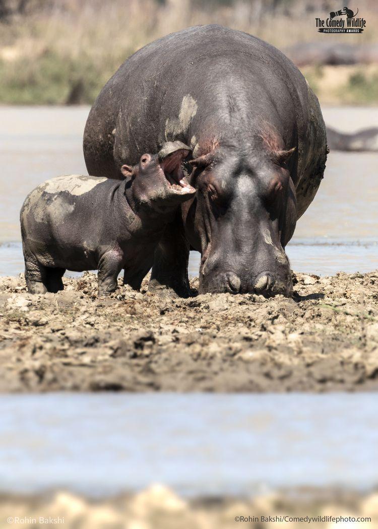 © Rohin Bakshi/ 'Cranky hippo' / Comedy Wildlife Photography Awards 2021