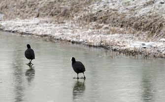 Watervogels hebben het zwaarder in de winter - ANP