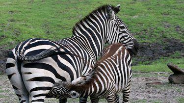 Een jonge zebra bij zijn moeder