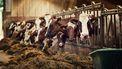 Koeien in de stal eten voer