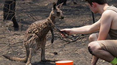 Kangoeroe vraagt om water na bosbranden Australië