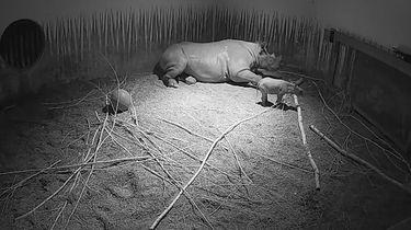 Zeldzaam zwart neushoorntje geboren in Blijdorp