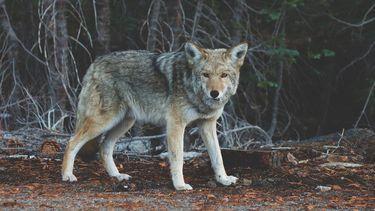 Wilde wolf waargenomen in Vlaanderen