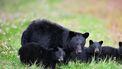 De beer, die zo'n tien jaar oud was, en haar twee jongen werden uit voorzorg doodgeschoten.