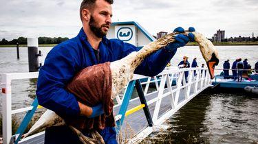 Eerste schone zwanen uitgezet na olielek Rotterdam