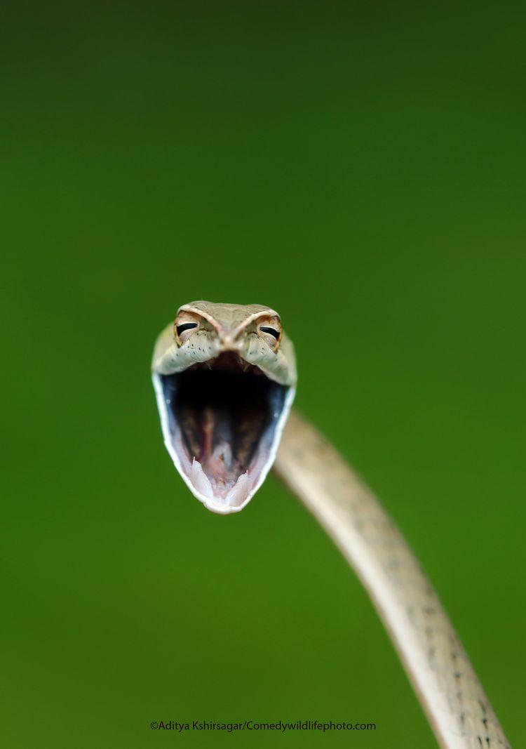 Laughing Snake - The Comedy Wildlife Photography Awards 2021 / Aditya Kshirsagar