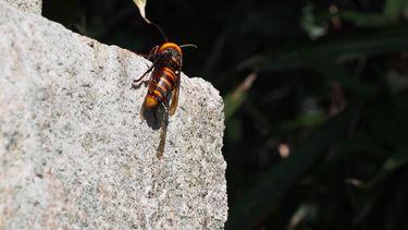 De gevreesde Aziatische Hoornaar © Harum Koh