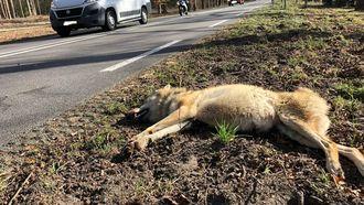 Op deze foto zie je de dode wolvin
