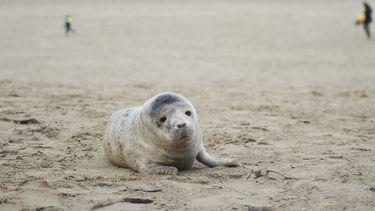 Zeehond aan de Vlaamse kust