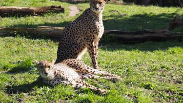 Lief! Nederlands dierenpark verwelkomt nieuwe cheetahs