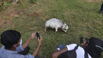 'Kleinste koe ter wereld', Rani (51 cm) trekt veel bekijks in Bangladesh Rani