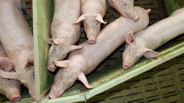 Op de foto zie je varkens in een stal